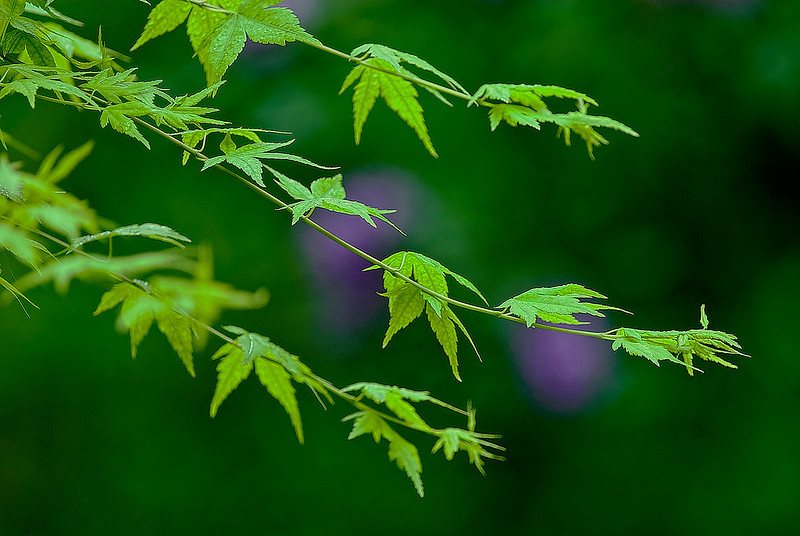 3070 Japanese-Maple--With-Violet-Background-_v1 copy