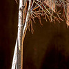4716 Birch-On-Adobe-Wall_v1 copy