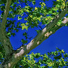 5159 Sycamore-In-Spring_v1 copy