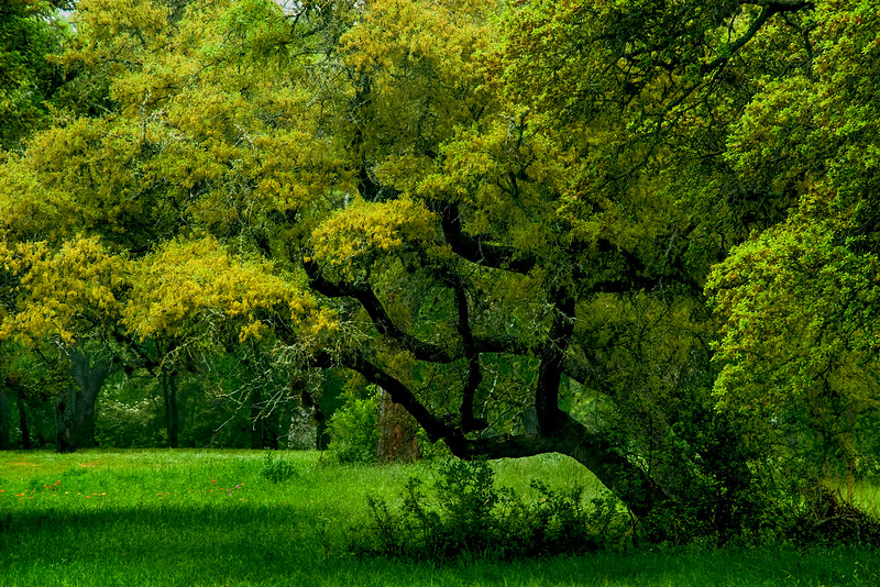 5140 Live-Oak-Grove-In-Spring-_v1 copy