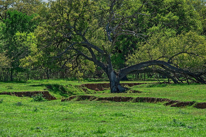 4222 This-Old-Tree-_v1 copy