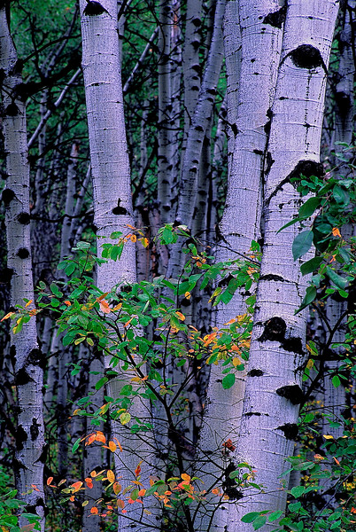 2637-Summer-Aspens-_v1 copy