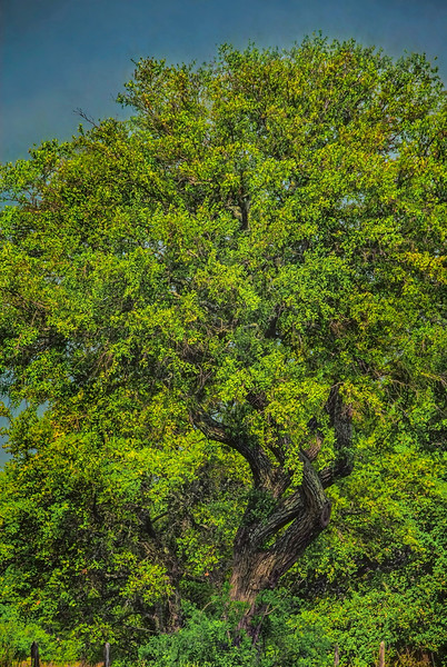 5148 Live-Oak-With-Spring-Greening-_v1 copy