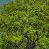 5148 Live-Oak-With-Spring-Greening-_v1 copy