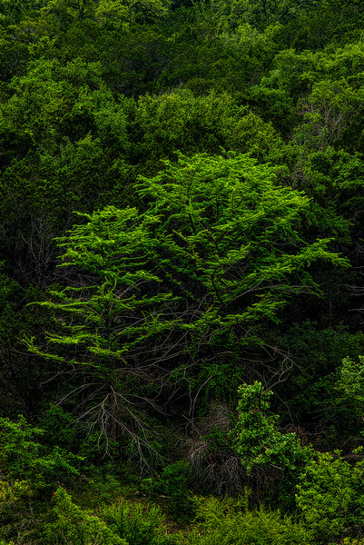 5146 Greening-Bald-Cyprus-_v1 copy