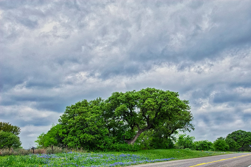 5133 Live-Oak-And-Bluebonnets_v1 copy