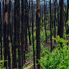 4241 Nature-Restores-A-Burned-Bastrop-S P _v1 copy