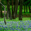 4254 Bluebonnets-Highlight-A-Live-Oak-Grove-_v1 copy