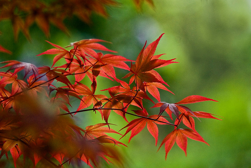 3069 Japanese-Maple--Backlit-In-Morning-Light_v1 copy
