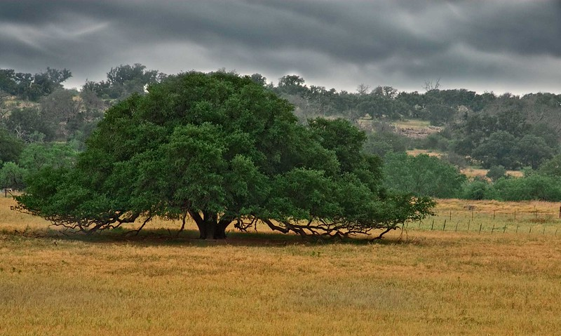 3460-Perfect-Oak-Tree copy
