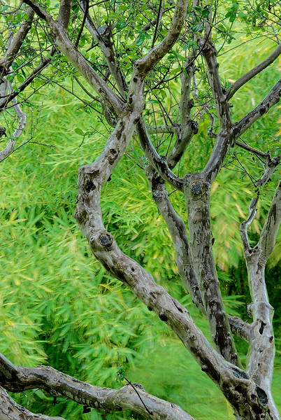 2682-Bamboo-And-madrone-_v1 copy