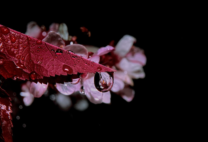 2648Crab-Apple-Blossom-Reflected-In-A-Water-Drop-_v1_v1