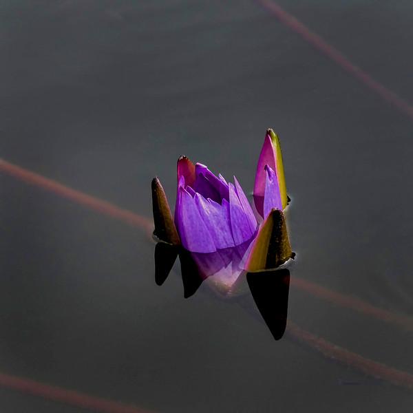 6779 Violet Bloom In Still Water _v1 copy 2