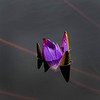 6779 Violet Bloom In Still Water _v1 copy 2