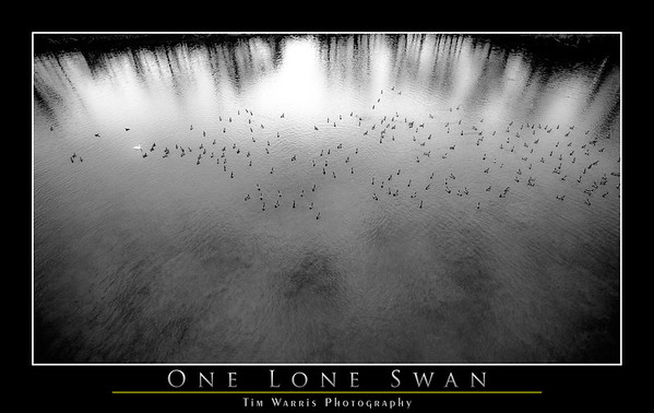 One Lone Swan