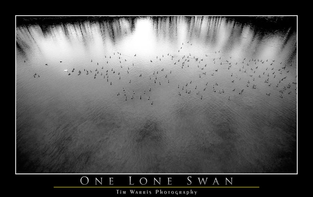 One Lone Swan