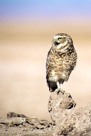 Burrowing Owl, Atacama Desert - Northern Chile