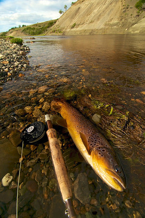 Brown trout from the Rio Penitente, Chile