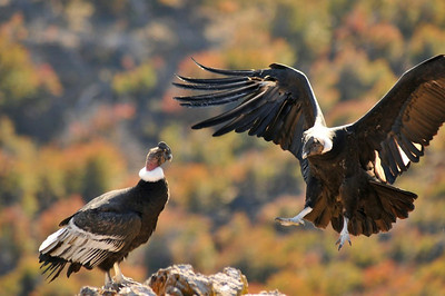 A Condor comes in for a londing on the cliffs at Estancia Punta del Monte, Chile