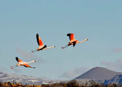Flamingoes in flight Argentine Patagonia
