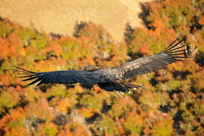 An immature Condors soaring high above the autumn foliage.  Estancia Punta del Monte, Chile