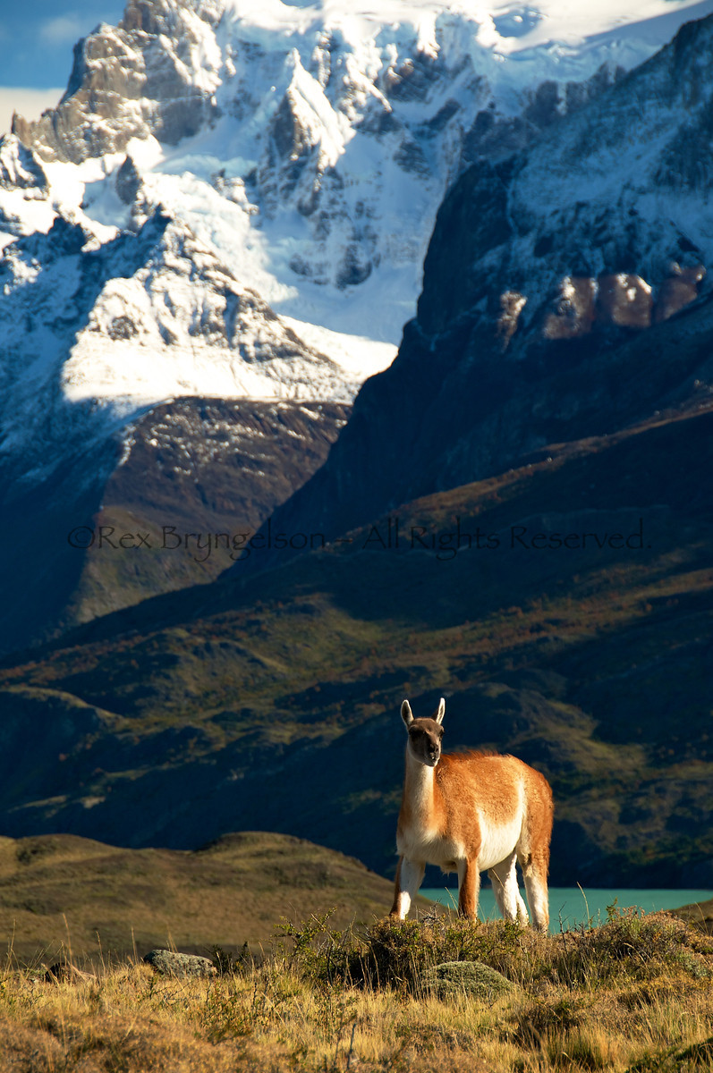 A Guanaco in Torres del Paine