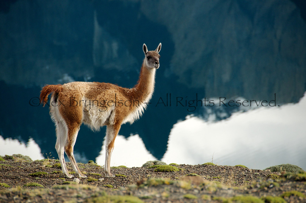 A guanaco in Torres del Paine National Park