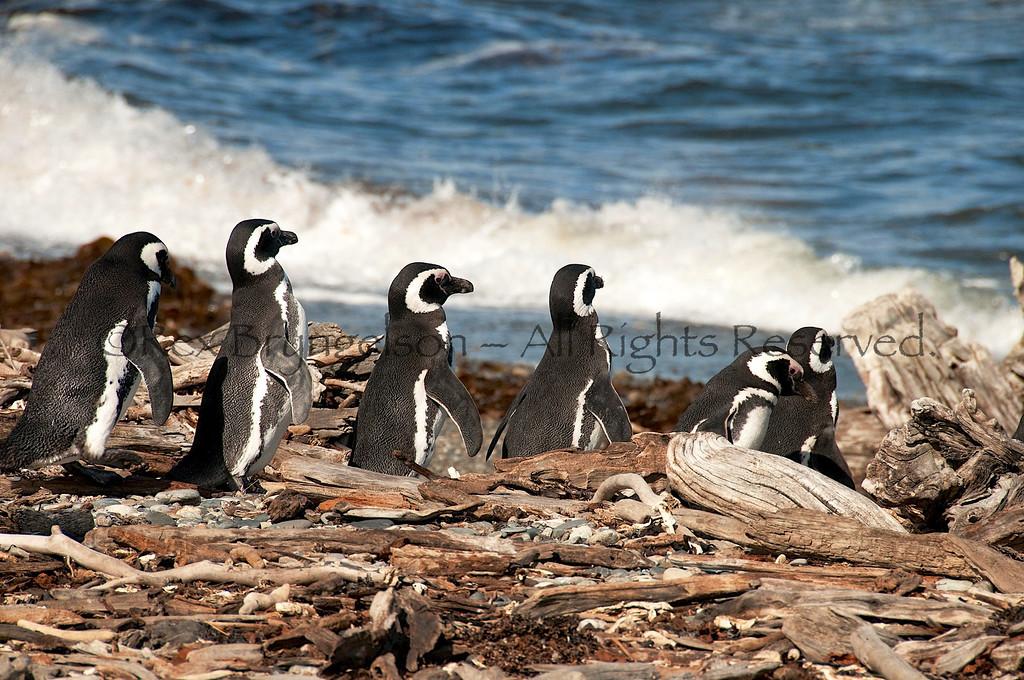 Magellania Penguins at Seno Otway Reserve, Chilean Patagonia.