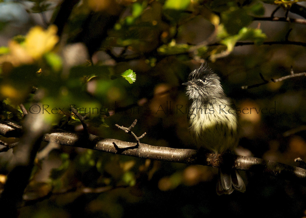 A Tufted Tit Tyrant in Los Glaciares National Park, Argentina