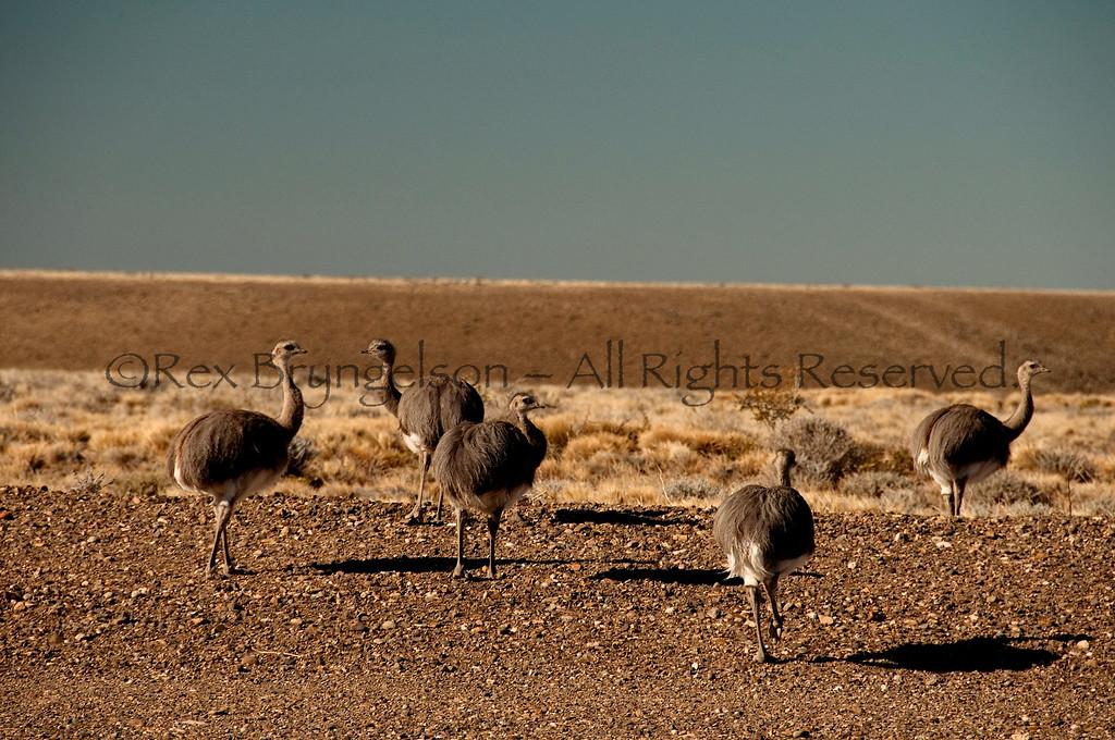 Nandus (Lesser Rheas). Argentine Patagonia.
