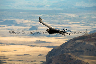 A Condor soars over the Valley of the Moon in Chilean Patagonia