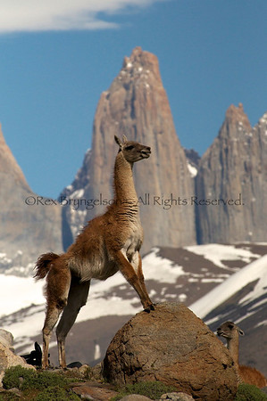 A guanaco puts on a territorial display at Torres de Paine National Park