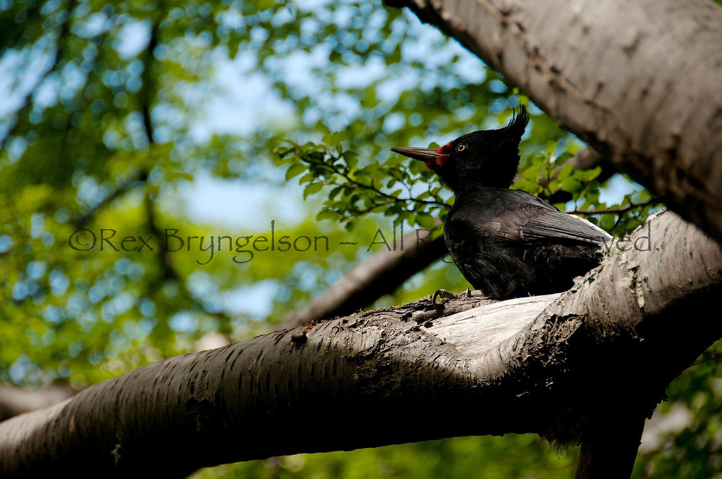 Magellanic woodpecker. Torres del Paine National Park, Chilean Patagonia.