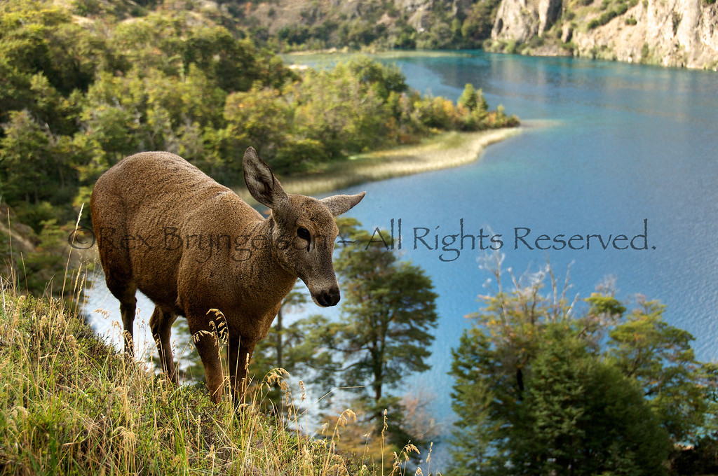 A female Huemul deer at the Tamango Reserve in the Region of Aysen, Chile