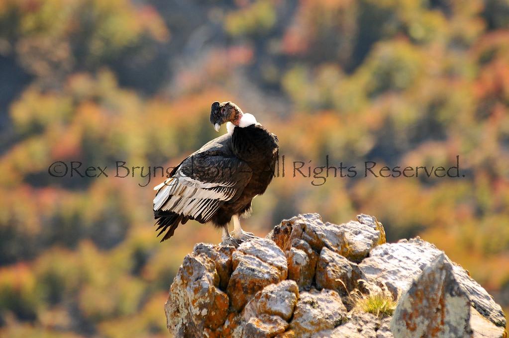 A Condor at Estancia Punta del Monte, Region of Aysen, Chilean Patagonia