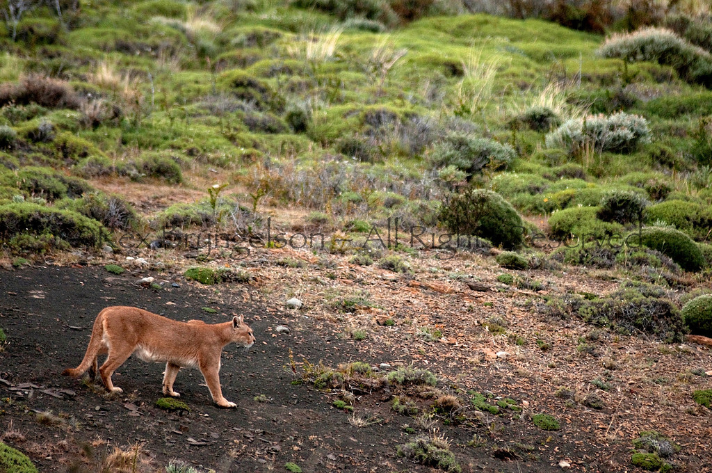 A Puma makes the rounds at dawn. Torres del Paine National Park, Chilean Patagonia.