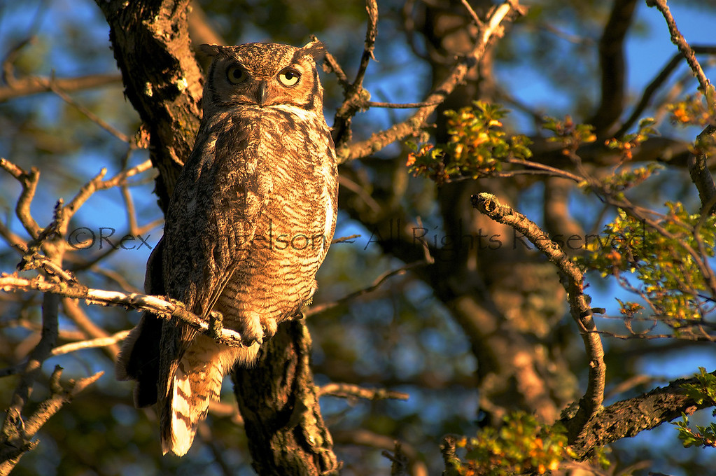 A Patagonian Horned Owl in the Region of Aysen, Chilean Patagonia