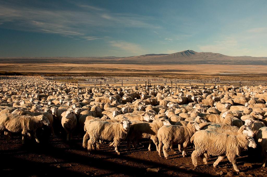 Sheep ready to be sheared at Estancia Cerro Guido  Chilean Patagonia.