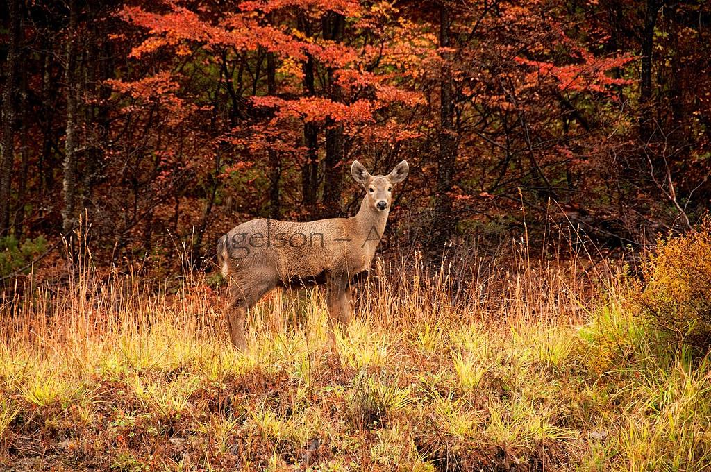 A yearling Huemul Deer in Cerro Castillo Reserve.  Chilean Patagonia.
