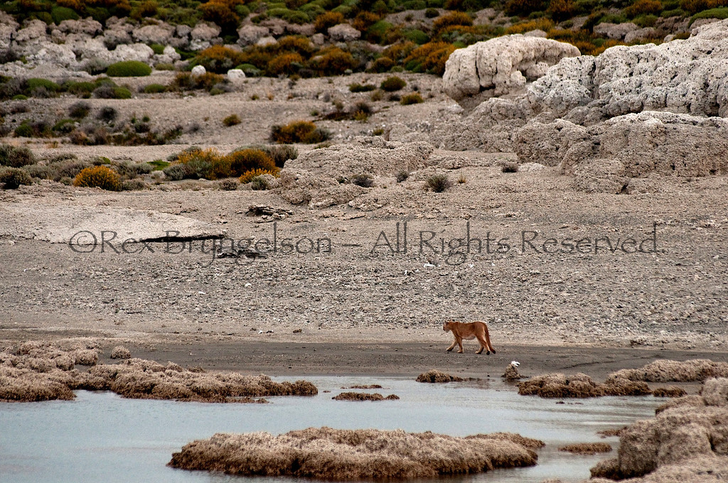 A Puma prowls amongst Thrombolites formations. Torres del Paine National Park, Chilean Patagonia.