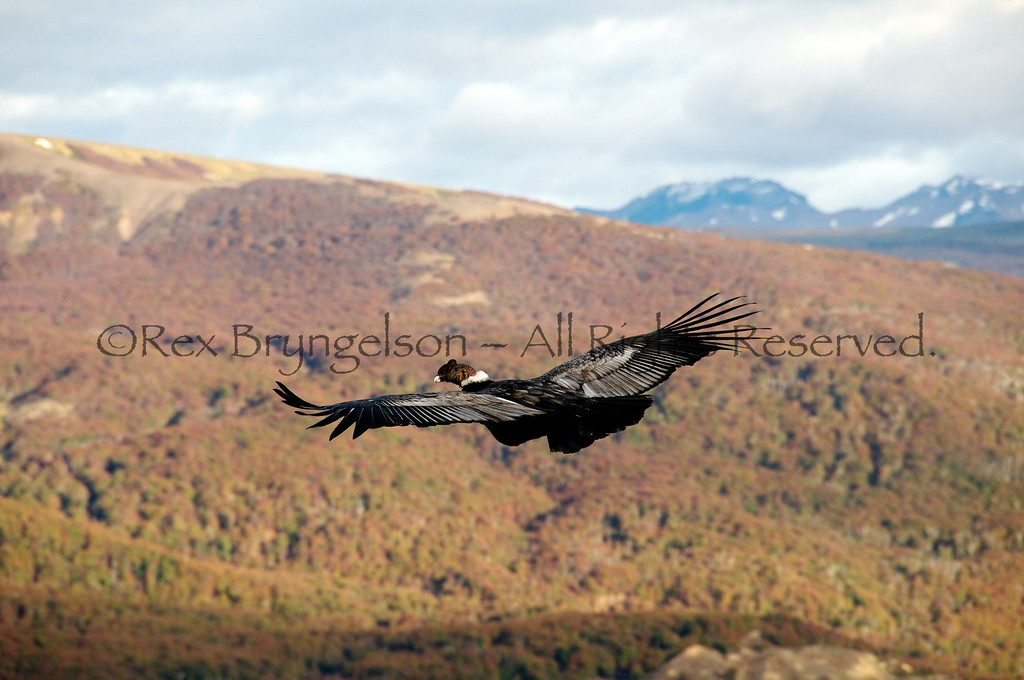 Condor in flight in Autumn at Estancia Punat del Monte, Region of Aysen, Chilean Patagonia