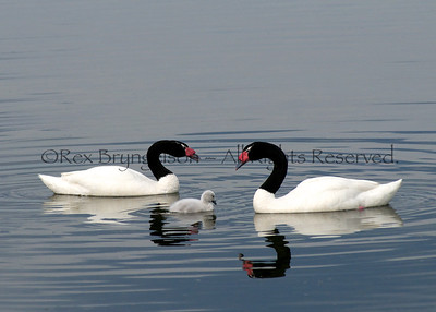 Black-necked Swans and Cygnet near Puerto Natales