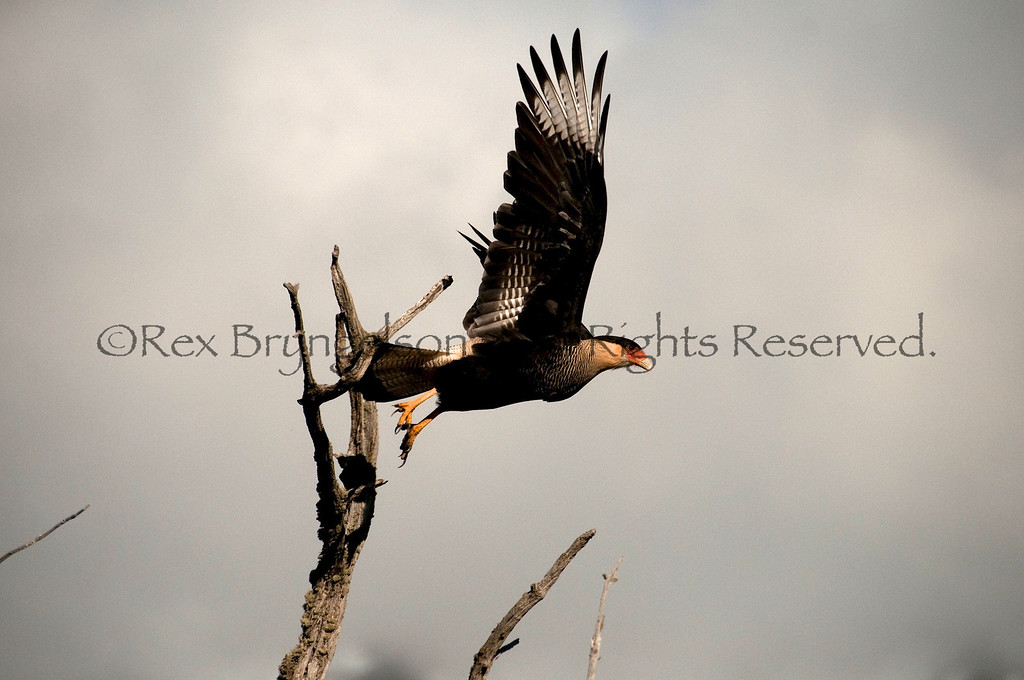 A Crested Caracara takes flight. Chilean Patagonia.