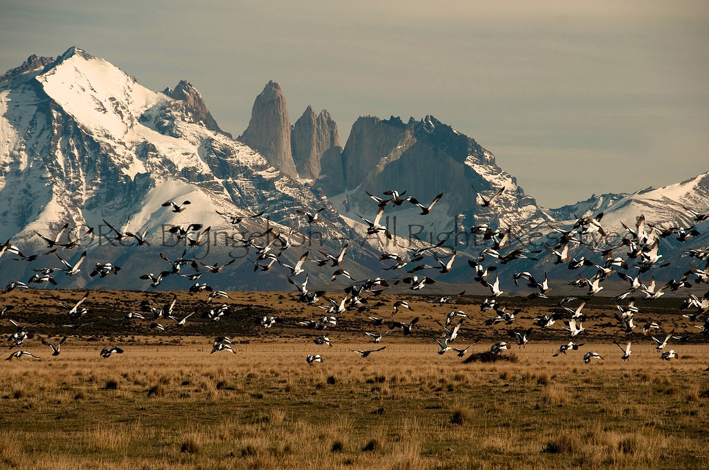 Upland Geese in flight before the Torres del Paine. Chilean Patagonia.