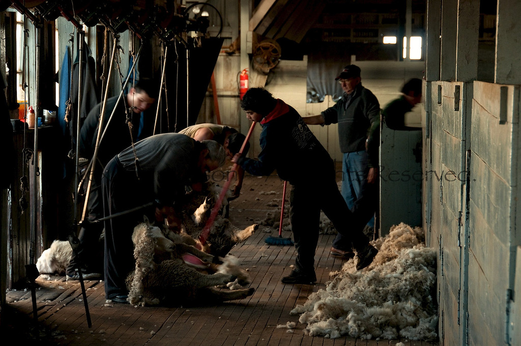 Sheep shearing at Estancia Cerro Guido  Chilean Patagonia.