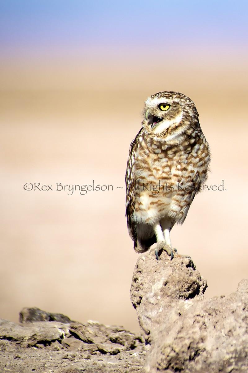 Burrowing Owl, Atacama Desert - Northern Chile