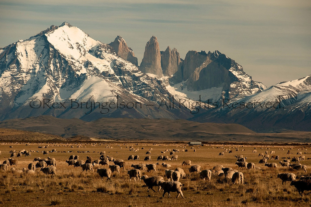 Sheep on the Estancia Cerro Guido near Torresd  del Paine. Chilean Patagonia.