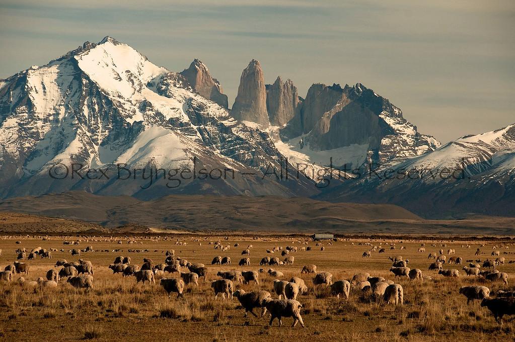 Sheep on the Estancia Cerro Guido near Torresd  del Paine. Chilean Patagonia.