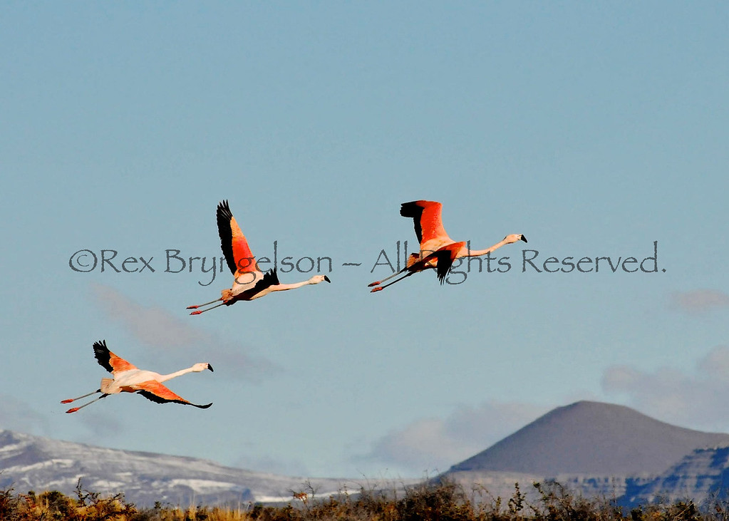 Flamingoes in flight Argentine Patagonia