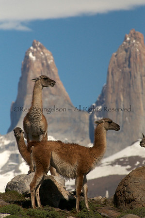 Guanacos at Torres de Paine National Park
